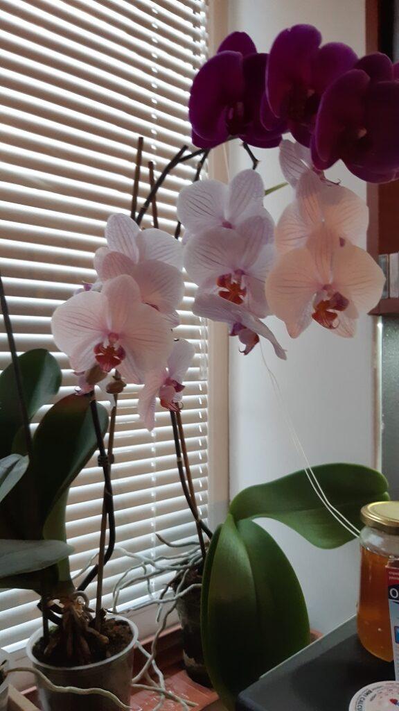 Отглеждане на орхидеи